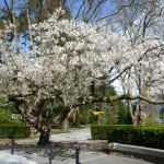 Beautiful Springtime blossom in Stanley Park Vancouver